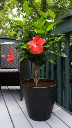 Growing Hibiscus - The Most Spectacular Summer Flower