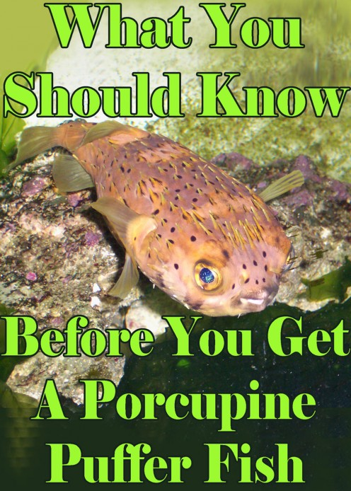 What You Should Know Before Getting a Porcupine Puffer
