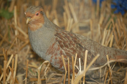 Galliformes.part-4 Partridge,Quail and Grouse. { Bird Orders}