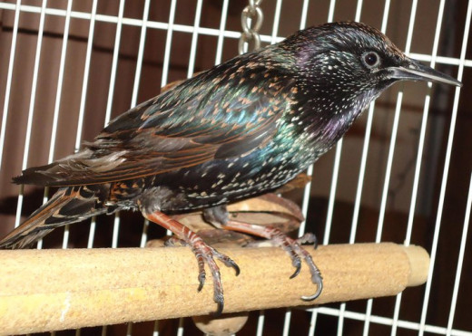 Toolie is a European starling. Birds are very sensitive to chemicals used in the home.