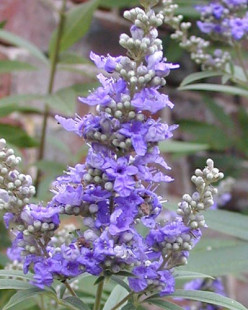 Rosemary, Valerian, Chaste tree: feel well and cook better with these herbs