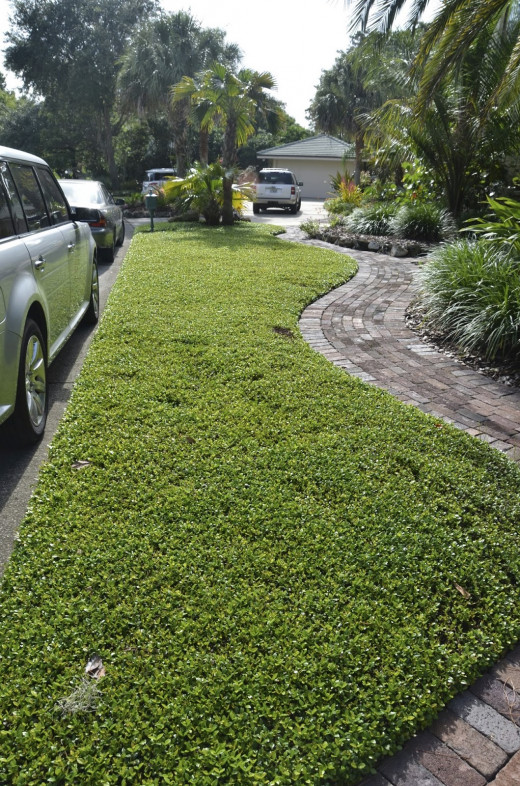 Used as lawn