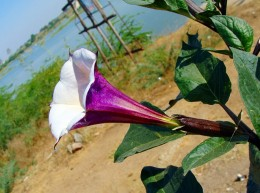 The Datura flower, part of a plant used in flying ointments.