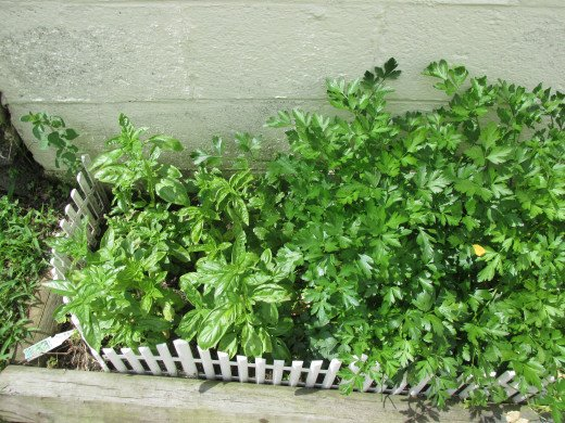 Part of my herb garden.  Basil on the left and Italian parsley on the right.