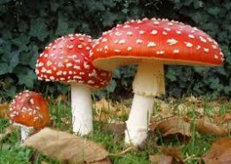 "Fly Agaric was used by people in centuries past to go on visual ""journeys""."