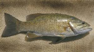 Smallmouth Bass. They may also be prone to a more green, or bronze color with less striping.