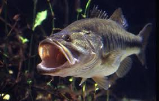 Largemouth Bass. Their mouth tells you how they got their name.