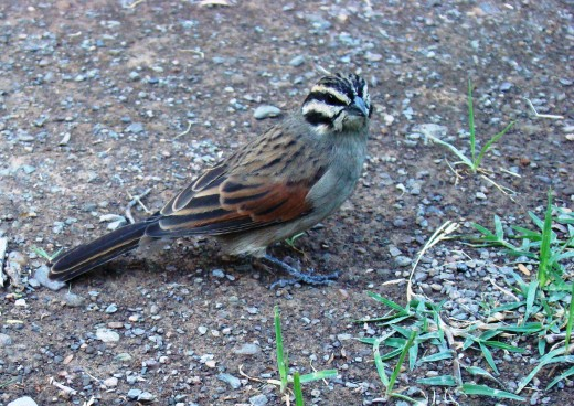 Cape Bunting no 20 out of 407