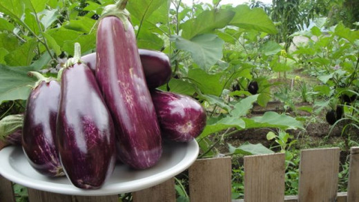 Plant and Harvest your own Eggplants