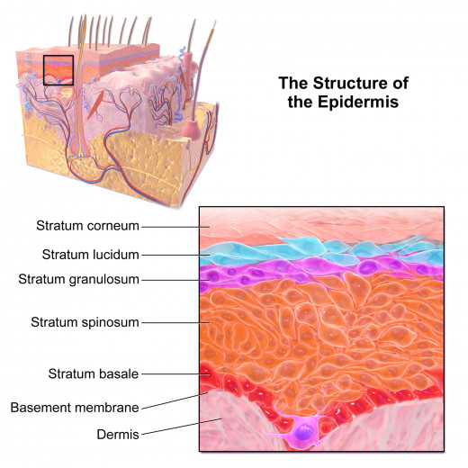 An illustration of the structure of the epidermis (skin layers).