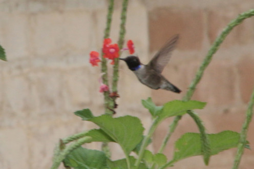 Black-Chinned Hummbingbird and flowers