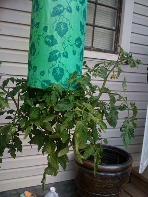 this tomato plant is growing like crazy about a month later