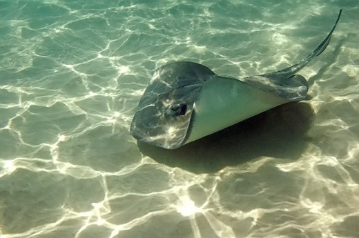 Stingray in the clear blue waters of the Grand Cayman Islands.