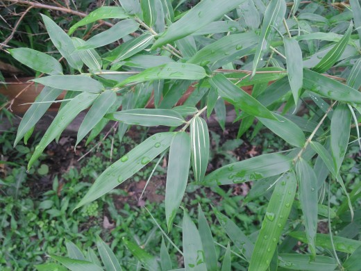 As long as you can control the spread, some tall growing Bamboo can be used for a whispering pollen break capturing air borne contaminants when placed to work with prevailing wind patterns.