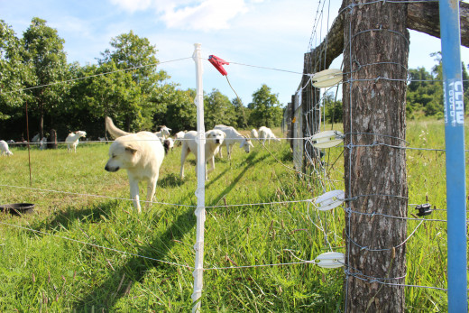 Poly-wire attached to end posts. Crossbred (Anatolian/Akbash) guardian dogs.