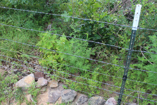 Cattle fences can be made goat proof by adding one or two strands of electric poly-wire.