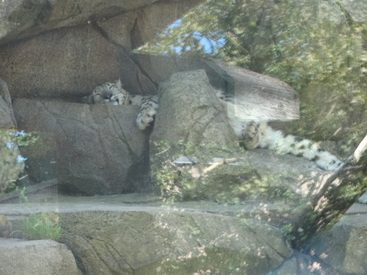 "This isn't a white tiger, it's a snow leopard...facts don't differ much, ""big"" cat, small enclosure."