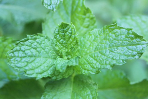 Spearmint growing in my garden