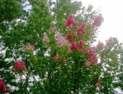 Do Crepe Myrtles come in two colors on one tree?