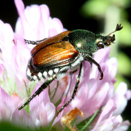 Beetle at the Morton Aboretum