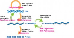 Introduction to Gene Expression Part 1: Transcription