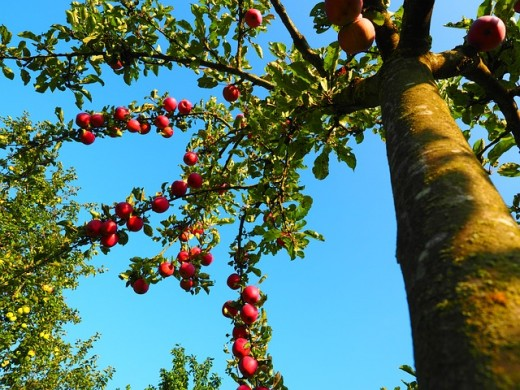 Plant an apple tree in your yard, or visit an orchard to tap into the magick of Avalon.