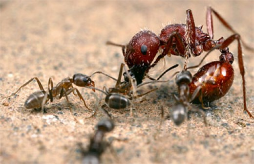 Ants fighting.