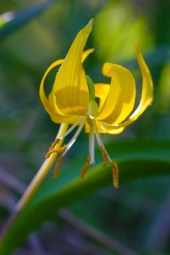 Glacial Lily