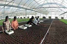 Planting tissue cultured plants in Protective Cover