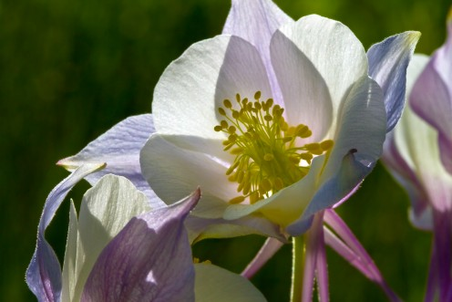 Columbine In Morning Light