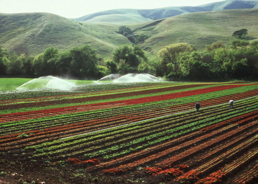 LETTUCE farm in the year 2010