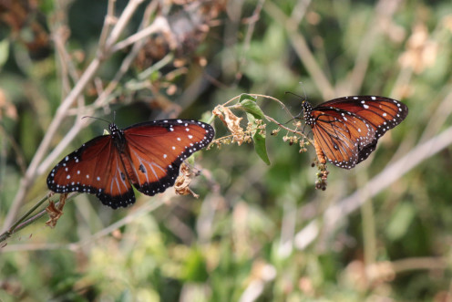Two Queen Butterflies