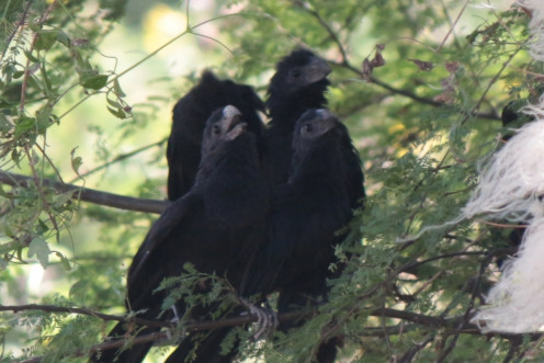 Groove-billed Ani singing a chorus