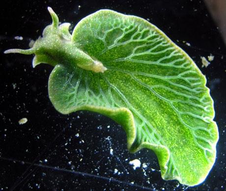 CHLOROPHILLOUS sea SLUG- Plant-Animal Hybrid?