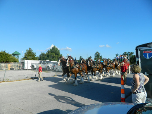 The Clydesdales on the move