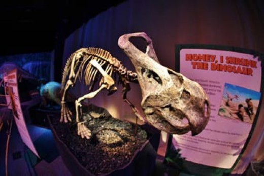 The Mongolian dinosaur Protoceratops at the Franklin Institute in Philadelphia, c. 2012.