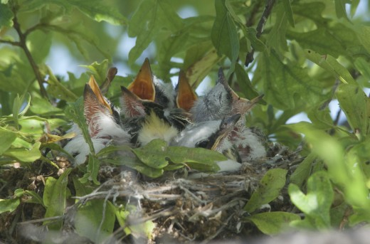Scissor-tailed Flycatcher Nestlings