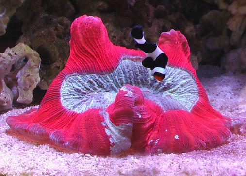 BRAIN CORAL-Unique under water CREATURE!