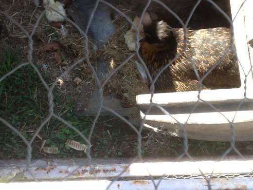 Hen using a grass catcher as a nesting box