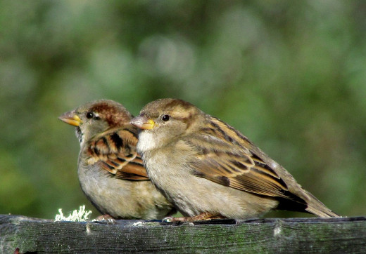 House Sparrows, male and female