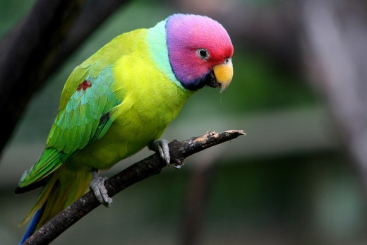 A beautiful lovebird.