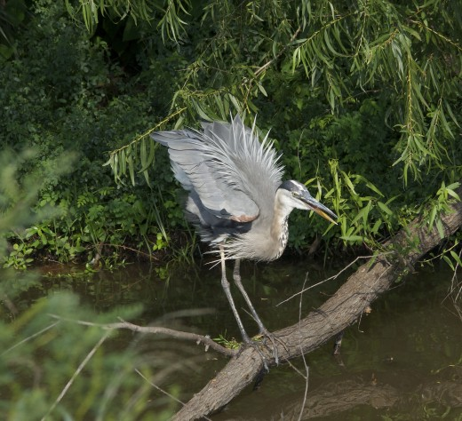 Agitated Great Blue Heron