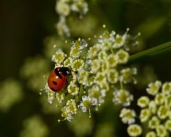 Lady Bug On Osha Wildflower