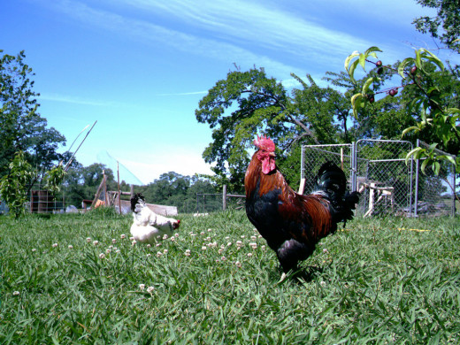 A rooster guards his hen while they look for treats in the grass.
