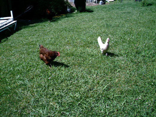 A couple of hens fertilize the lawn and look for bugs or weeds.