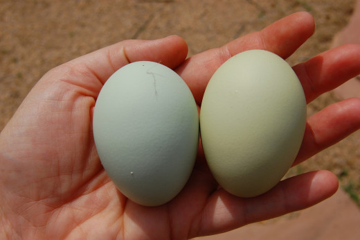 Eggs straight from the hen in fun colors. Ameraucana or Easter Egger hens lay beautiful blue and green eggs.