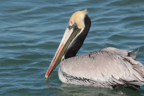 Brown Pelican found at Port Aransas