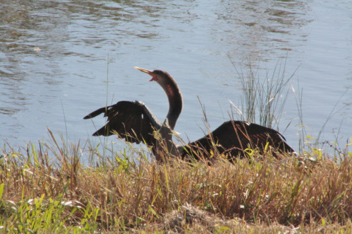 Male Anhinga on the shore drying off