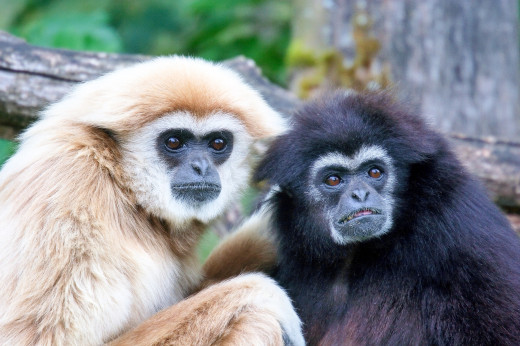 Lar gibbons (Hylobates lar) range from sandy to black in colour. Their colour doesn't depend on gender.
