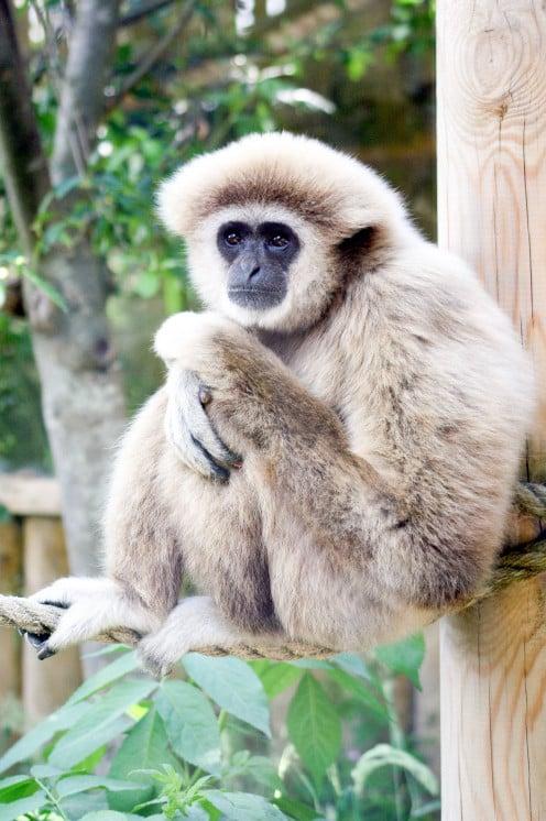 Lar or white-handed gibbon